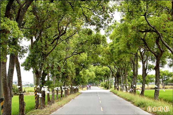 通往上茄苳的樟樹綠隧開滿蝴蝶蘭白花,有在地居民反映感覺怪怪的。(記者王涵平攝)