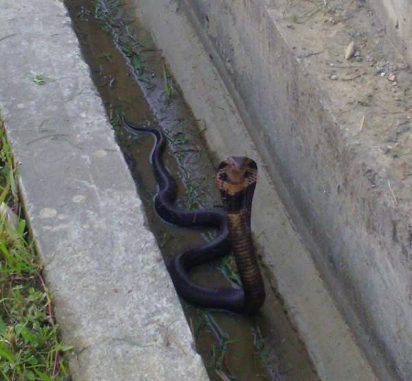 5尺長黑色眼鏡蛇出沒在新北市大漢溪左岸自行車道。(圖片擷取自臉書)