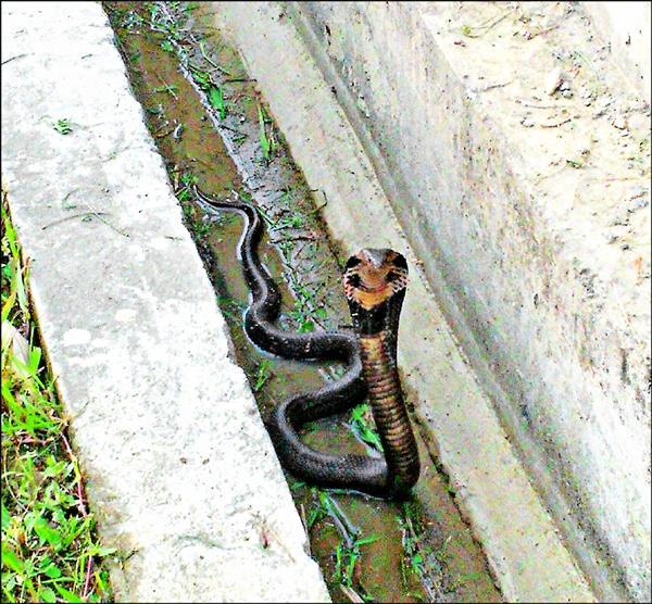 黑色眼鏡蛇被民眾發現在大漢溪左岸自行車道出沒。(民眾賴先生提供)