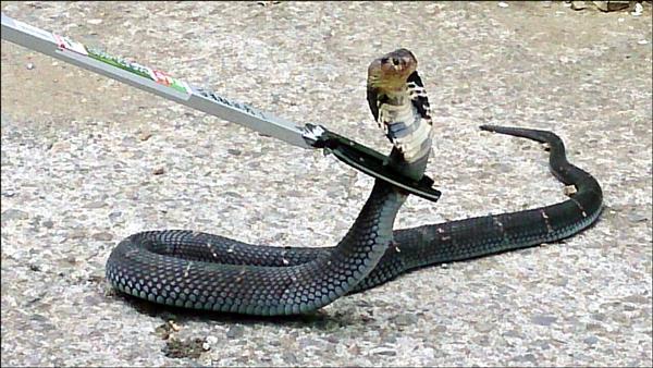 苗栗縣近期頻現蛇蹤,居民人心惶惶。(消防局提供)
