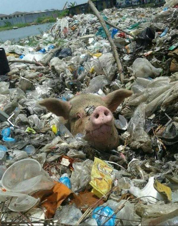 泰國有民眾在垃圾場發現一顆豬頭。(圖擷取自臉書)