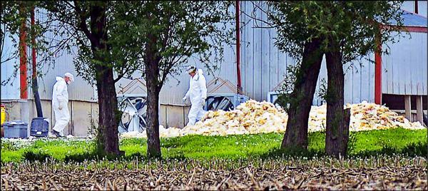 美國爆發禽流感疫情,目前全美有十五州是疫區。圖為被撲殺的雞隻堆積如山。(資料照,美聯社)