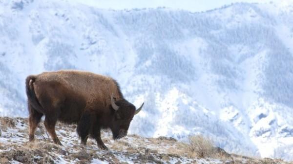 黃石公園管理處提醒,遊客應與野牛保持至少23公尺以上的安全距離。(圖取自ctvnews)