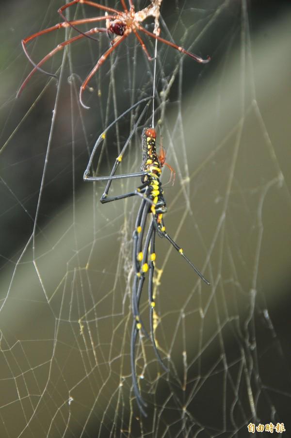 剛剛蛻皮的母人面蜘蛛,「舊皮」在上方,牠全身軟趴趴沒力,只靠蜘蛛絲掛在蛛網上,一旁徘徊的紅色小公蛛立刻撲上去「趁勢交配」。(記者花孟璟攝)
