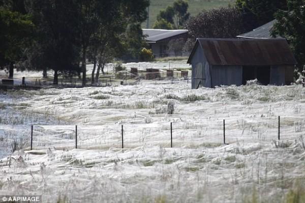 一個位在澳洲南部高原的小鎮,居民在本月初醒來時,發現全鎮竟布滿巨大的蜘蛛網。(圖擷取自《每日郵報》)