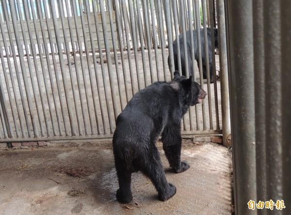 攻擊飼主李藤正的黑熊,情緒顯得焦躁。(記者李立法攝)