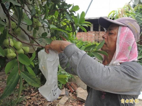 農友為白蓮霧套袋,以保護果實的完整性。(記者林孟婷攝)