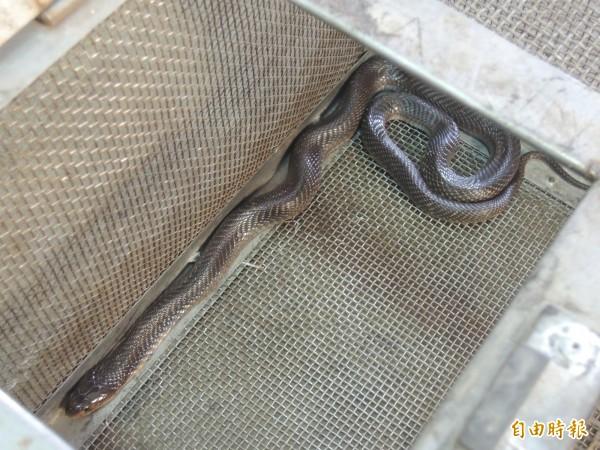 進入夏季,又是蛇類出沒的季節,新竹市消防局近期已頻繁出勤捕蛇,呼籲民眾提高警覺,勿到草叢或野外山區,若家中有發現蛇類,可通報消防隊處理。(記者洪美秀攝)