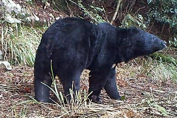 屏東縣一處台灣黑熊私人養殖場,今早8時許傳出黑熊抓傷人的意外。(情境照,圖與本文無關)