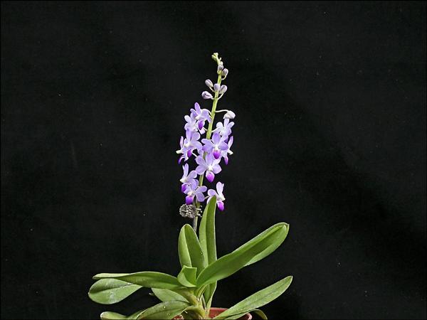 古坑花卉研究中心成功以異屬雜交方式,培育出開藍紫色小花的蝴蝶蘭。(花卉中心提供)