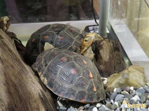 二級保育類動物食蛇龜。(記者王揚宇攝)