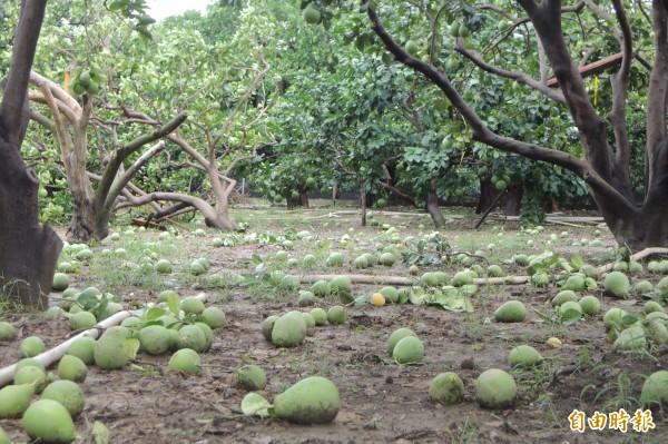 麻豆傳出龍捲風肆虐,受災的麻豆文旦園文旦被打落一地。(記者劉婉君攝)