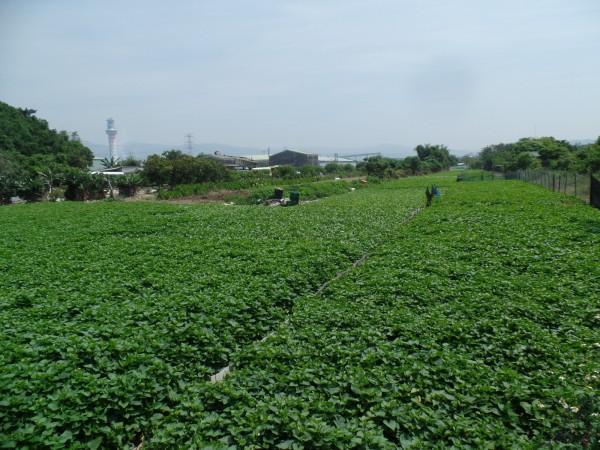 社子島長年限制開發,禁建長達40年。(資料照,記者郭安家攝)