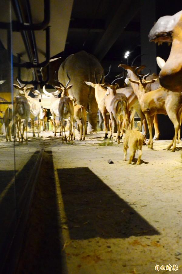 奇美博物館動物標本區遭吐檳榔汁,遊客離譜行徑令人傻眼。(記者吳俊鋒攝)