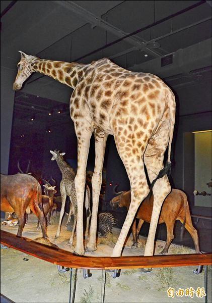 奇美博物館常有民眾拉扯動物標本,館方只好讓長頸鹿「夾著尾巴」自保。(記者吳俊鋒攝)