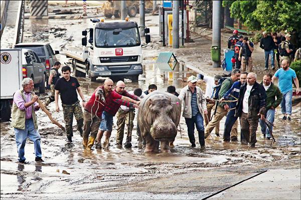 喬治亞首都提比里斯因13日晚間突如其來的狂風暴雨而陷入水患,當地動物園圍籬因此毀損,惡狼猛虎等動物紛紛出柙。圖為在外遊蕩的河馬14日被眾人協力帶回「家」。(美聯社)