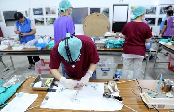 新北市動物保護防疫處與猴硐貓村愛貓志工們合作,昨天在猴硐捕捉四十九隻貓,進行結紮、植晶片及疫苗施打。(動保處提供)
