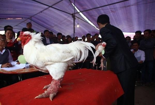 成年東濤雞可成長達6公斤,母雞通常為白色;公雞則長有彩色羽毛,東濤雞肉質鮮美,因此成為許多饕客最愛。(圖擷取自amusingplanet)
