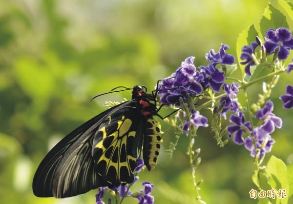 高雄金獅湖蝴蝶營六月廿九日受理報名,圖為園內的黃裳鳳蝶(記者王榮祥攝)