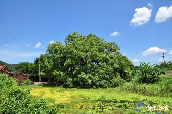 新竹縣關西鎮老社寮余家聚落的老樟樹,樹型優美壯觀,被視為縣府列管中最美的樟樹。(記者廖雪茹攝)