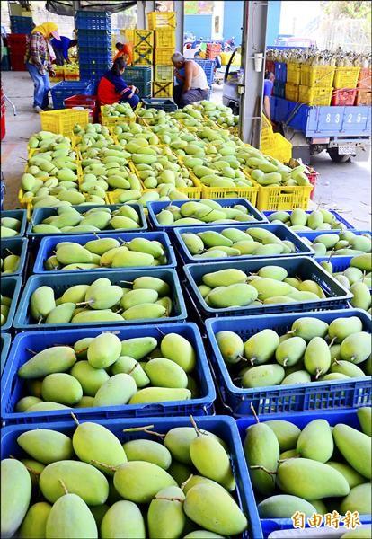 正值盛產,大量的金煌芒果湧入南化集貨場。(記者吳俊鋒攝)