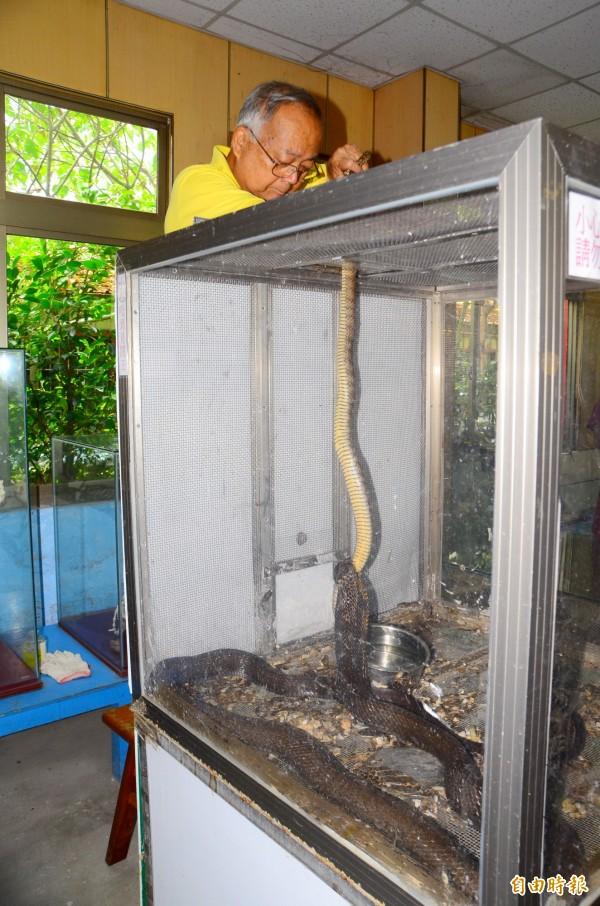 黃國男一放入南蛇,金剛眼鏡王蛇立刻狠咬獵物,準備活吞。(記者吳俊鋒攝)