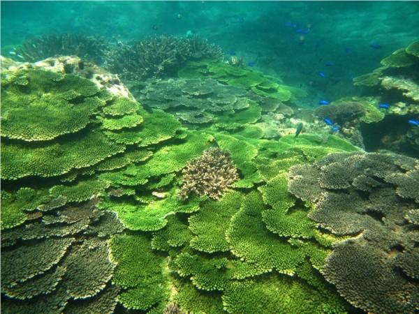 澎湖海洋生物研究中心警告,6月高溫將出現珊瑚白化危機。(海管處提供)