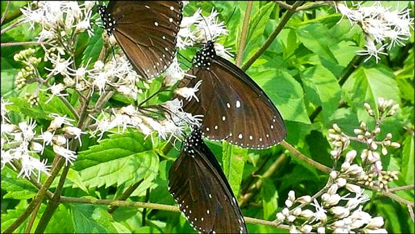 雲林縣古坑、林內地區出現大量紫斑蝶,民眾驚豔。(記者林國賢翻攝)