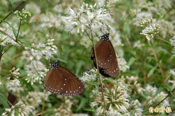 「蝴蝶遊樂園」活動,邀民眾到關子嶺紅葉公園認識蝴蝶生態。(記者劉婉君攝)