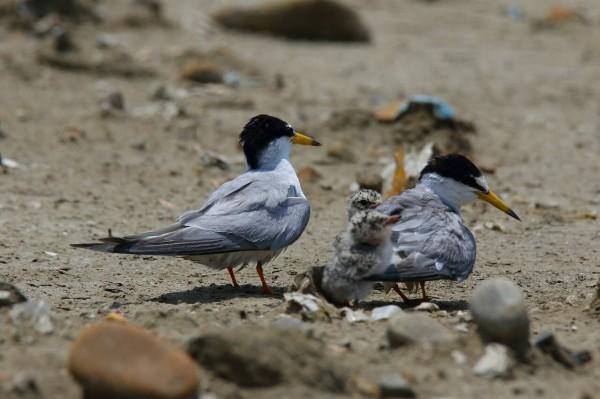 稀有鳥類小燕鷗在竹圍漁港砂礫地築巢,但有遊客不顧警示闖入破壞棲地,讓愛鳥人士心疼不已。(王先生提供)