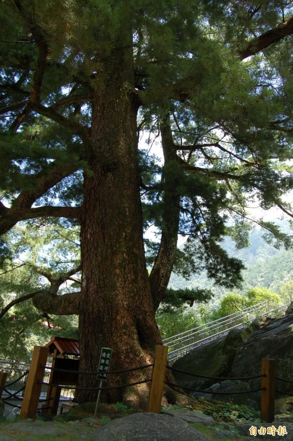 神木示意圖,圖為台中谷關神木。(資料照,記者謝鳳秋攝)