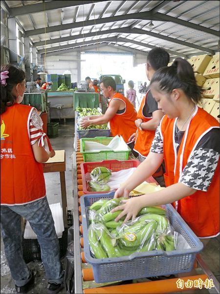 集集鎮蔬果運銷合作社員工趕著將要外銷新加坡的香蕉一一包裝入庫。(記者劉濱銓攝)