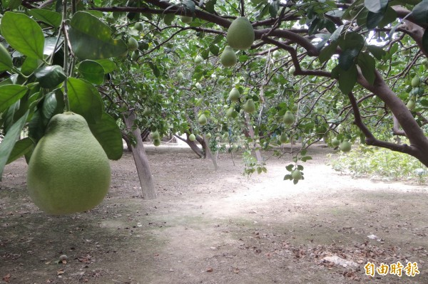 台南市文旦大賽,第一階段全國首創文旦果園評鑑,考核果園的管理。(記者楊金城攝)
