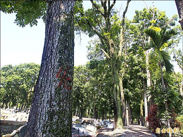 關山鎮公所已將部分影響到墓基與路基的桃花心木標上號碼,計畫標售砍除。(記者王秀亭攝)