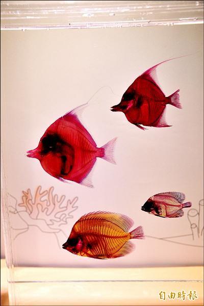 國立海生館推出染色透明魚標本特展,現場上千種五顏六色的透明魚類美如藝術品。(記者蔡宗憲攝)