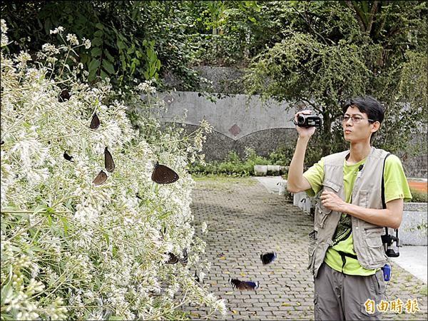 梅圳國小校園裡成群的紫斑蝶,在蜜源植物高士佛澤蘭上覓食。(記者余雪蘭攝)