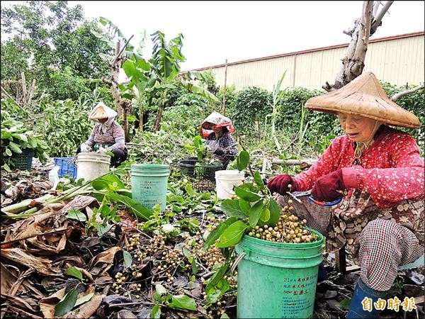 農村人口老化、缺工問題嚴重,許多農務工作人員都是「老」班底。(記者黃淑莉攝)