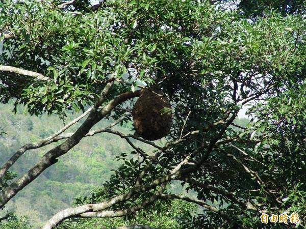 虎頭蜂經過半年「快速發展」,到秋季就會長到排球、籃球大小,萬一驚擾到牠「頃巢而出」恐怕造成傷害。(記者花孟璟攝)