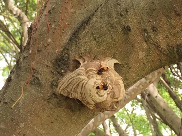 虎頭蜂窩春夏剛開始發展,蜂窩還不大,圖中的虎頭蜂窩只有橘子大小。(民眾提供)