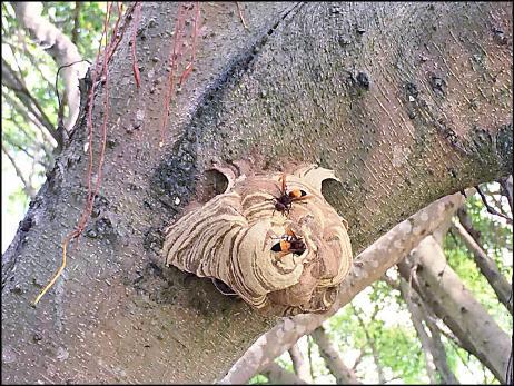 春夏虎頭蜂窩只有橘子大小。(民眾提供)