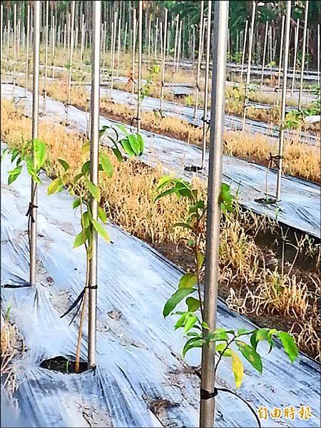沉香價值不斐,農民利用農地種植,樹幹要長至手臂般粗大,約需要七、八年。(記者李立法攝)