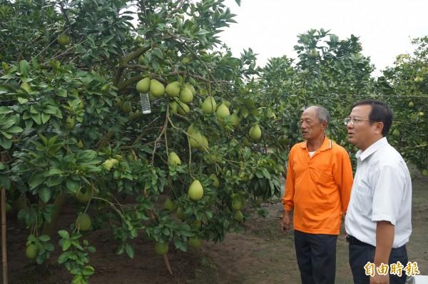 麻豆區長林振祿(右)今天上午到文旦果園巡視,幸好未受風災造成落果。(記者楊金城攝)