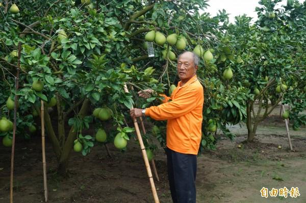 文旦樹較耐強風,果農也會在較弱樹枝架起竹杆支撐。(記者楊金城攝)