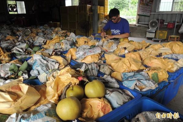 頂岩灣高接梨採收,因天氣太熱、影響產量與品質。(記者張存薇攝)