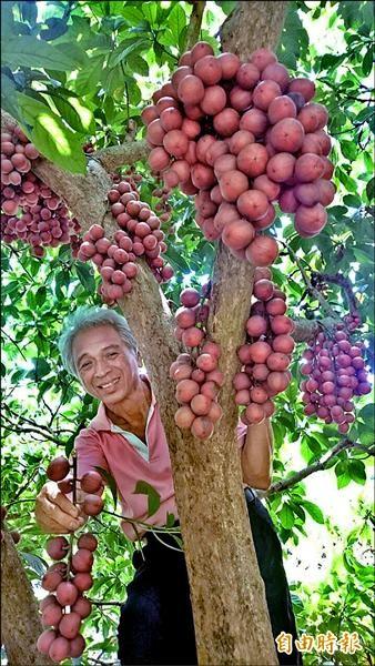 銀行襄理退休的許坤雨從緬甸帶回三仙果,經多年培育出滿園的三仙果苗木,昨首度公開亮相。(記者余雪蘭攝)