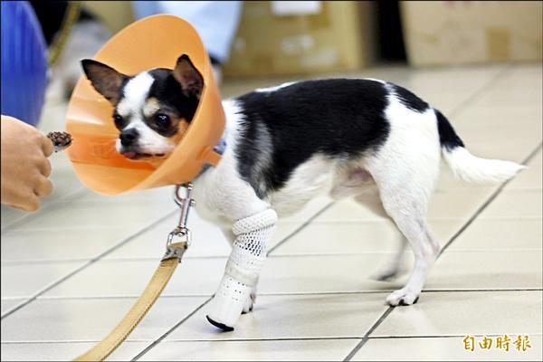 裝上3D列印義肢的小狗,能正常行走,恢復從前的活動力。(記者邱芷柔攝)