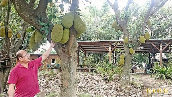 黃榮發的休閒農場,栽種3、4千株的波羅蜜,他將其中區分為「夭壽甜」、「夭壽不甜」,並宣稱「吃了滿意再付款,不滿意補送一顆,補到滿意為止。」(記者余雪蘭攝)