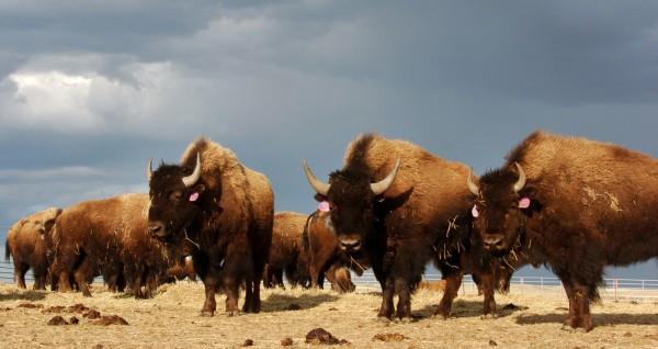 美國黃石公園再傳美洲野牛攻擊遊客事件。(美聯社)