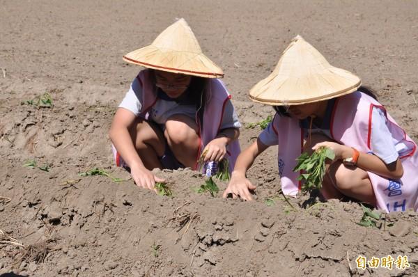 頭份國中四健會學子,於學校側門旁農地種地瓜,學生們頭戴斗笠,頂著豔陽,將一株株截好的地瓜莖壓入土裡。(記者彭健禮攝)
