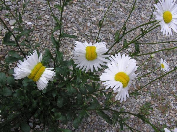 日本福島鄰縣驚見雛菊變種花。(圖片取自san_kaido推特)